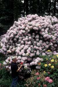 Don Hyatt and Rhododendron Caroline